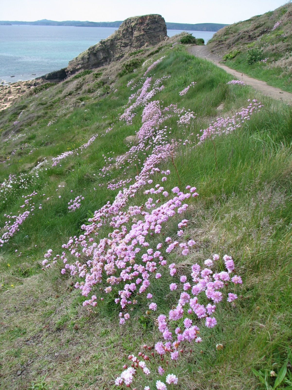 Beautiful flowers on the coastal path